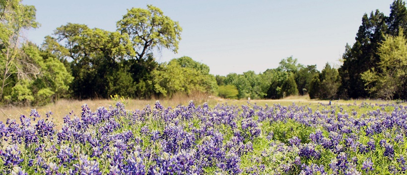 Bluebonnets in field with Hill Country trees