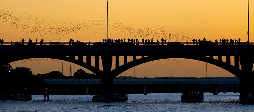 Bats coming out from a bridge in Austin, Texas.