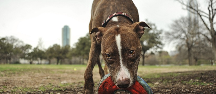Dog playing as example of one of the facts about Austin, Texas as a dog-friendly city.