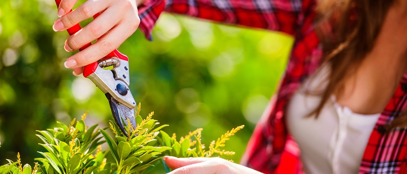 Close up of woman pruning a shrub to improve landscaping.