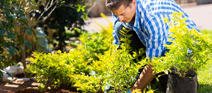 Man improving landscape around home by planting various plants into mulch.