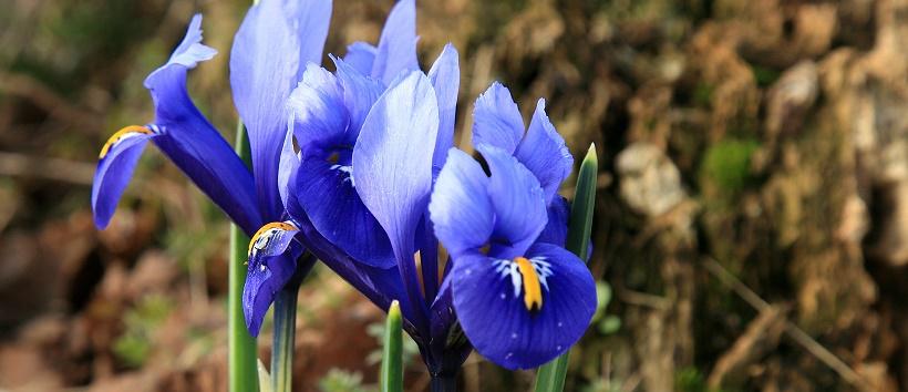 Close up of bright blue iris flowers.