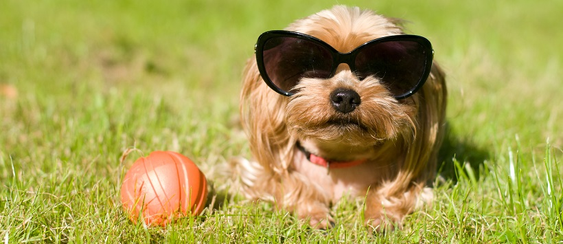 Small dog with sunglasses on sitting next to ball around dog-friendly landscaping.