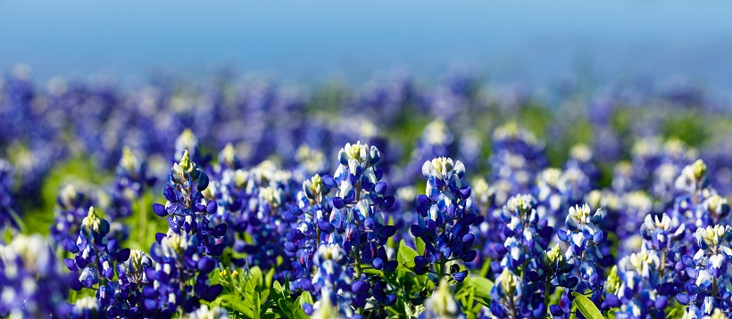 Close up of a field of bluebonnets.